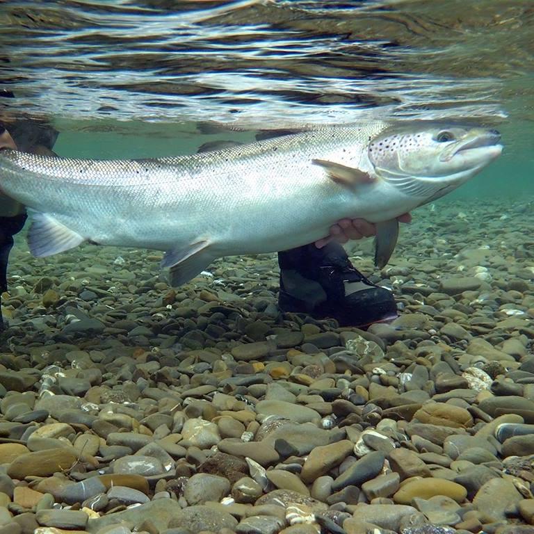 Rivière York - Remise à l'eau obligatoire des grands saumons