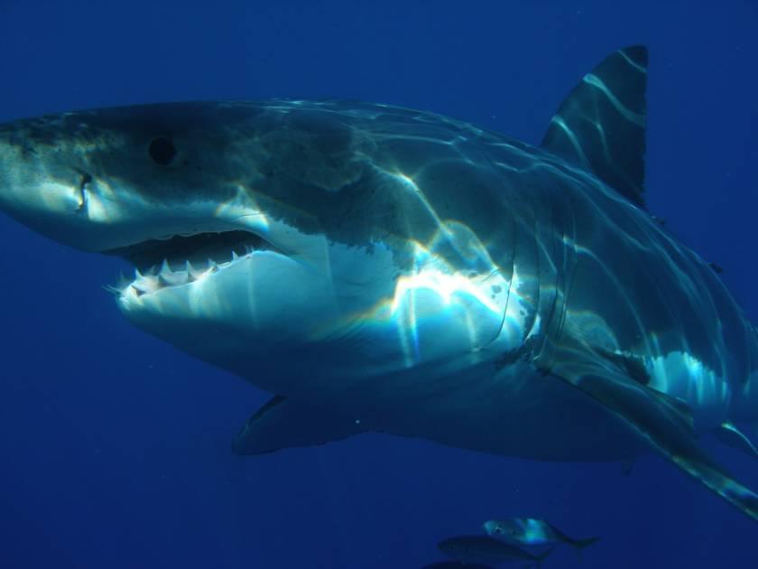 Un grand requin blanc navigue ces jours ci près des Îles de la Madeleine