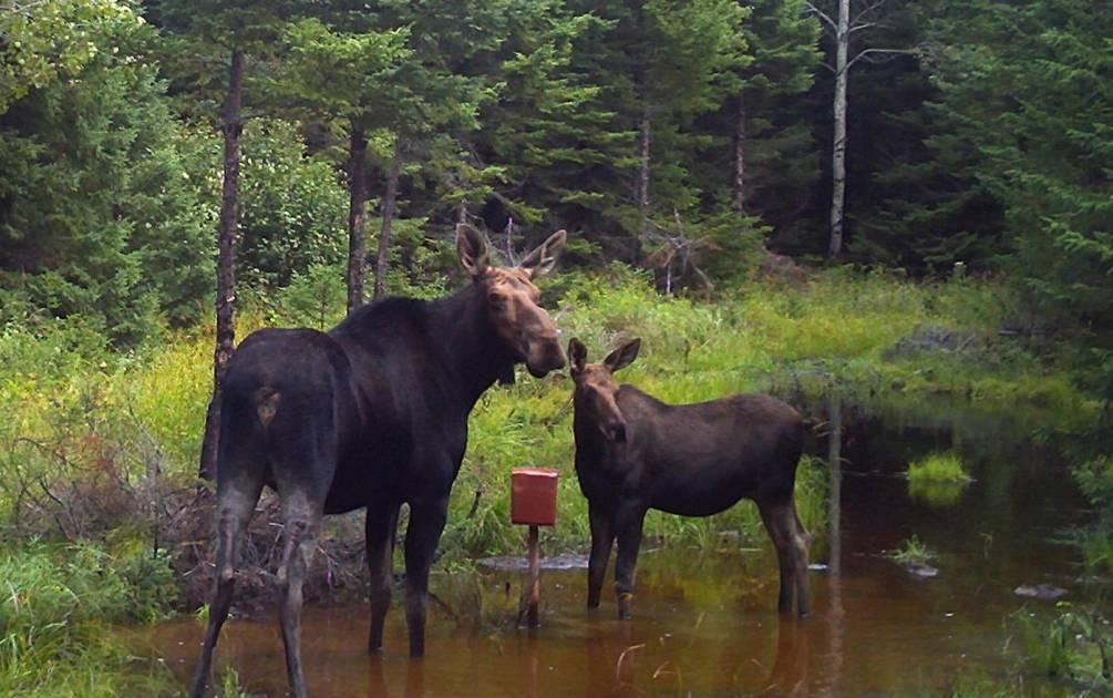 Modification des règles de chasse de l'orignal dans les zones de chasse 3 et 4