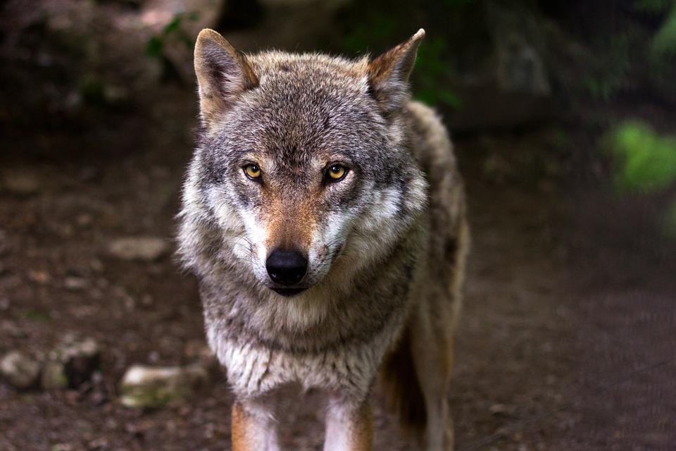 Un campeur agressé par un loup au Parc national de Banff