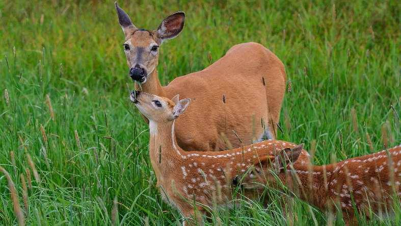Beaucoup de bêtes d'un an observées cet été sur Anticosti