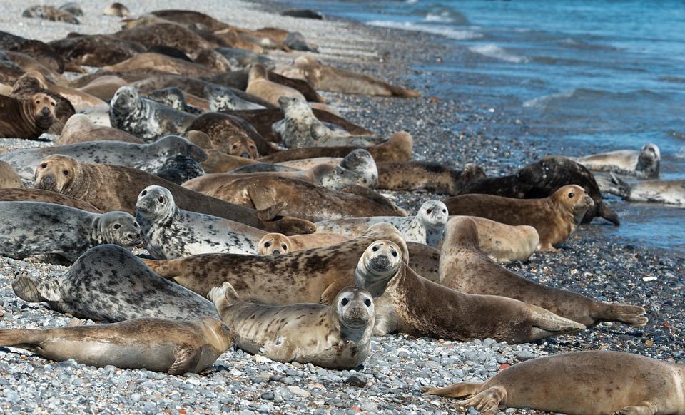 Les phoques gris risquent de mener à l'extinction de la morue dans le golfe