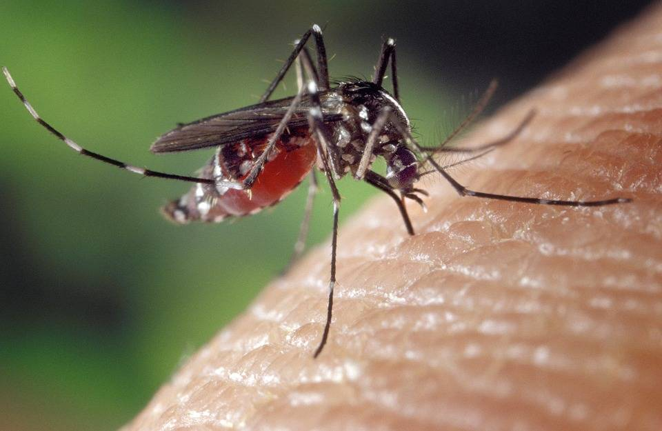 Moustiques et virus du Nil occidental: la saison est peut être décalée