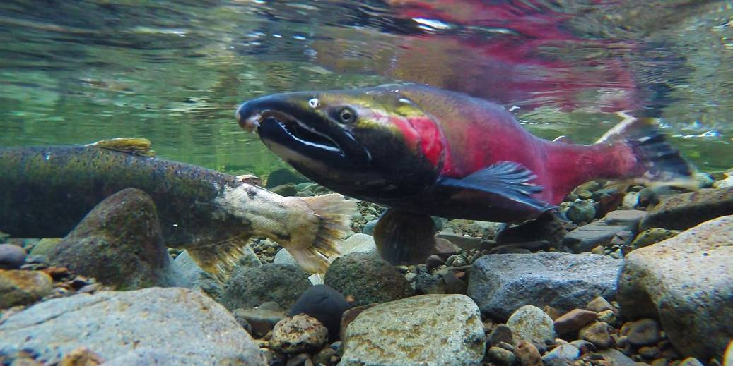Des milliers de saumons ont traversé l'éboulement, mais beaucoup reste à faire