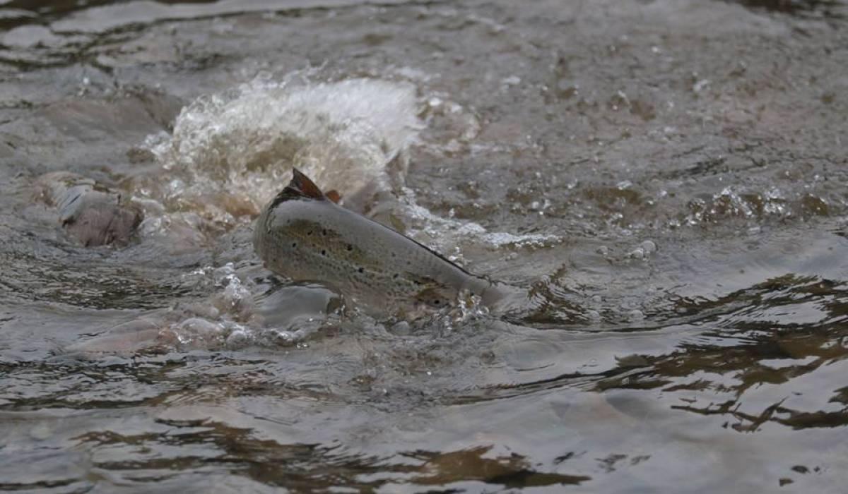 Un millier de saumons d'élevage se sont évadés au Nouveau Brunswick