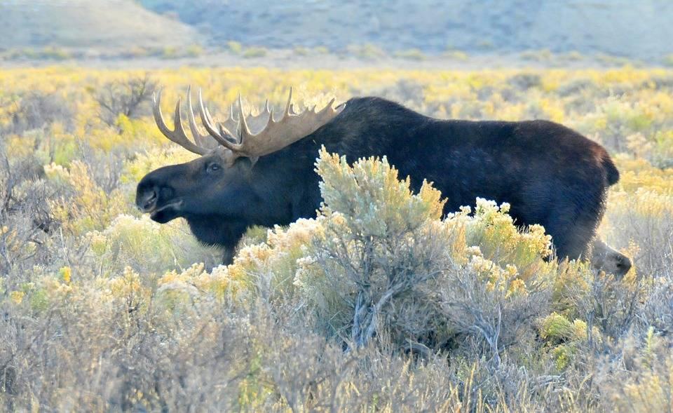 L'aide des chasseurs d'orignaux d'Abitibi-Témiscamingue est demandée