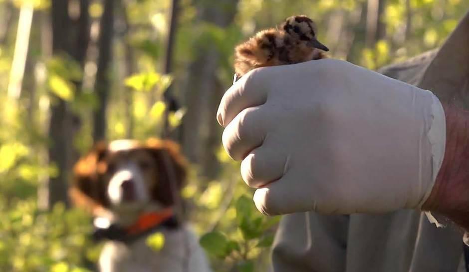 Nouvelle vidéo sur la cohabitation entre chasseurs avec chien et piégeurs