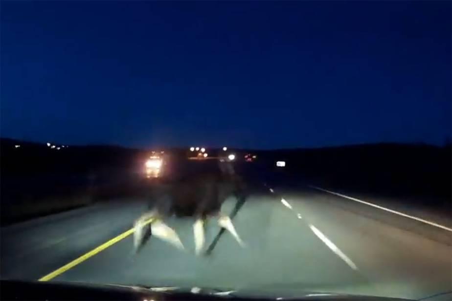 La vidéo d'une collision avec unorignalà Terre-Neuve devient virale