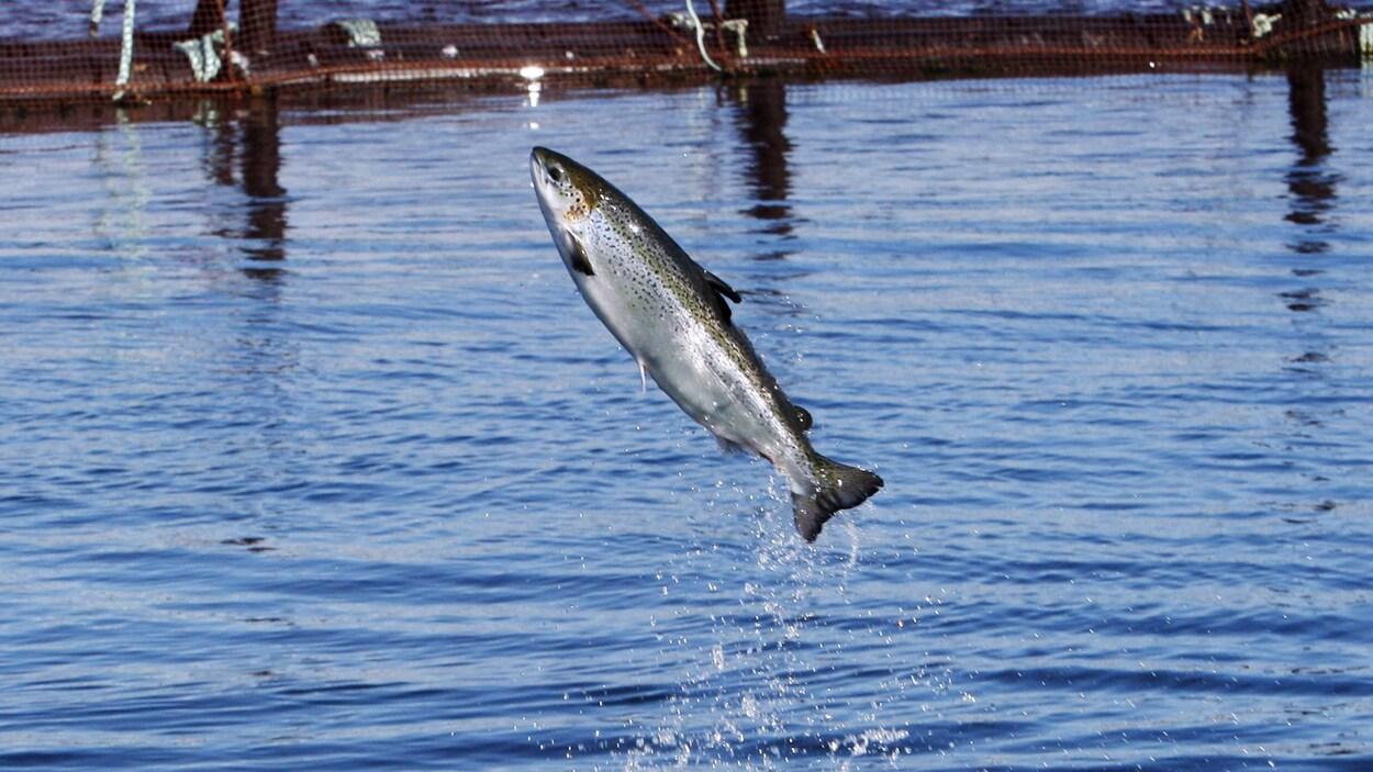 Des milliers de saumons morts dans un site d'aquaculture de Terre-Neuve