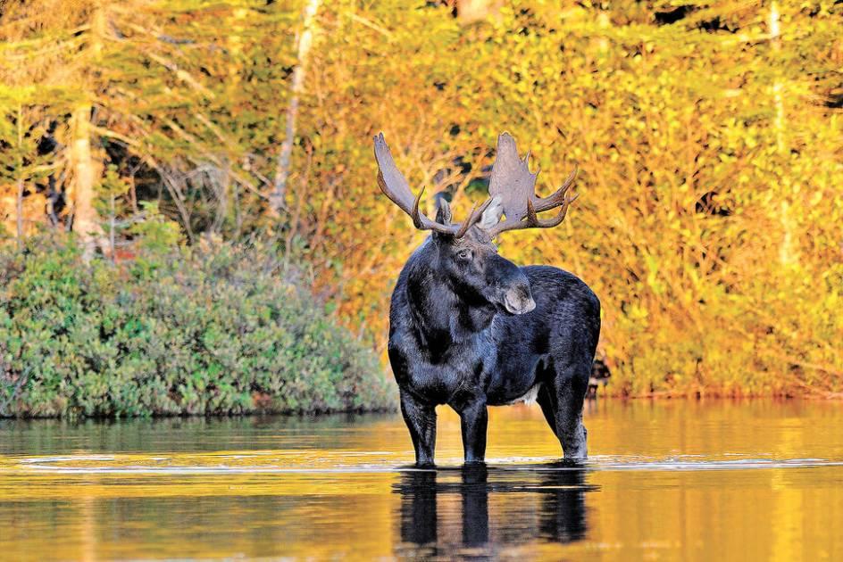 Une bonne saison pour l'orignal en vue à travers le Québec