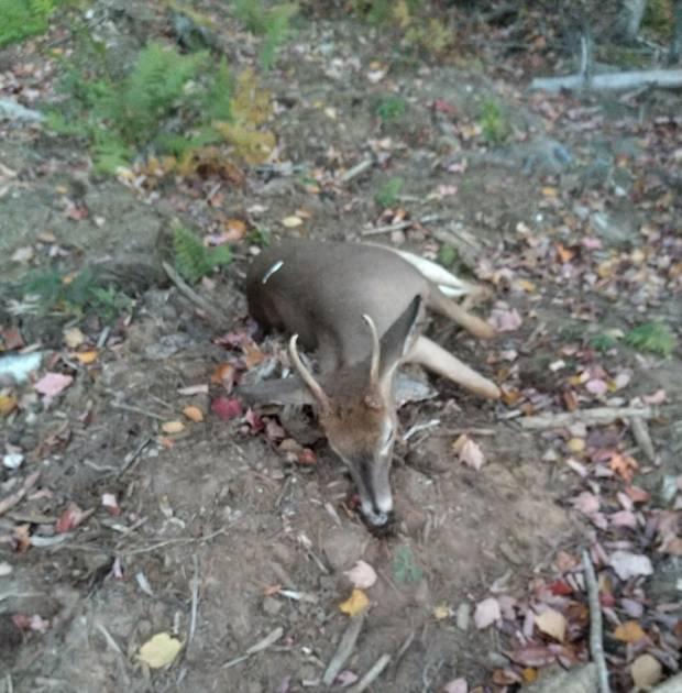 Appel à la population: un cerf de Virginie victime de braconnage