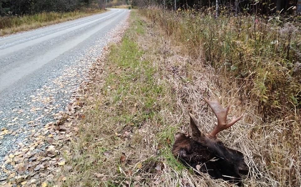 Un orignal victime de braconnage en Abitibi-Témiscamingue