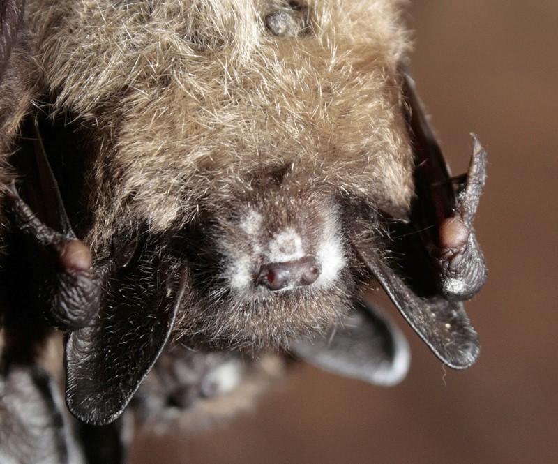 Les chauves-souris résidentes sont menacées de disparition