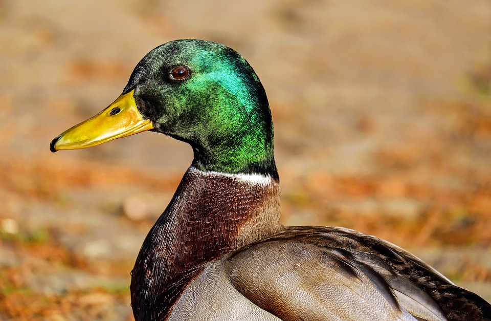 Un rappel des règles pour la chasse aux oiseaux migrateurs