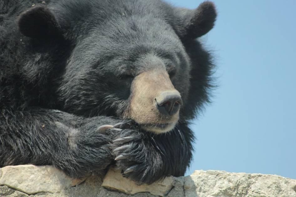 Un ours noir est victime de braconnage sur la Côte-Nord