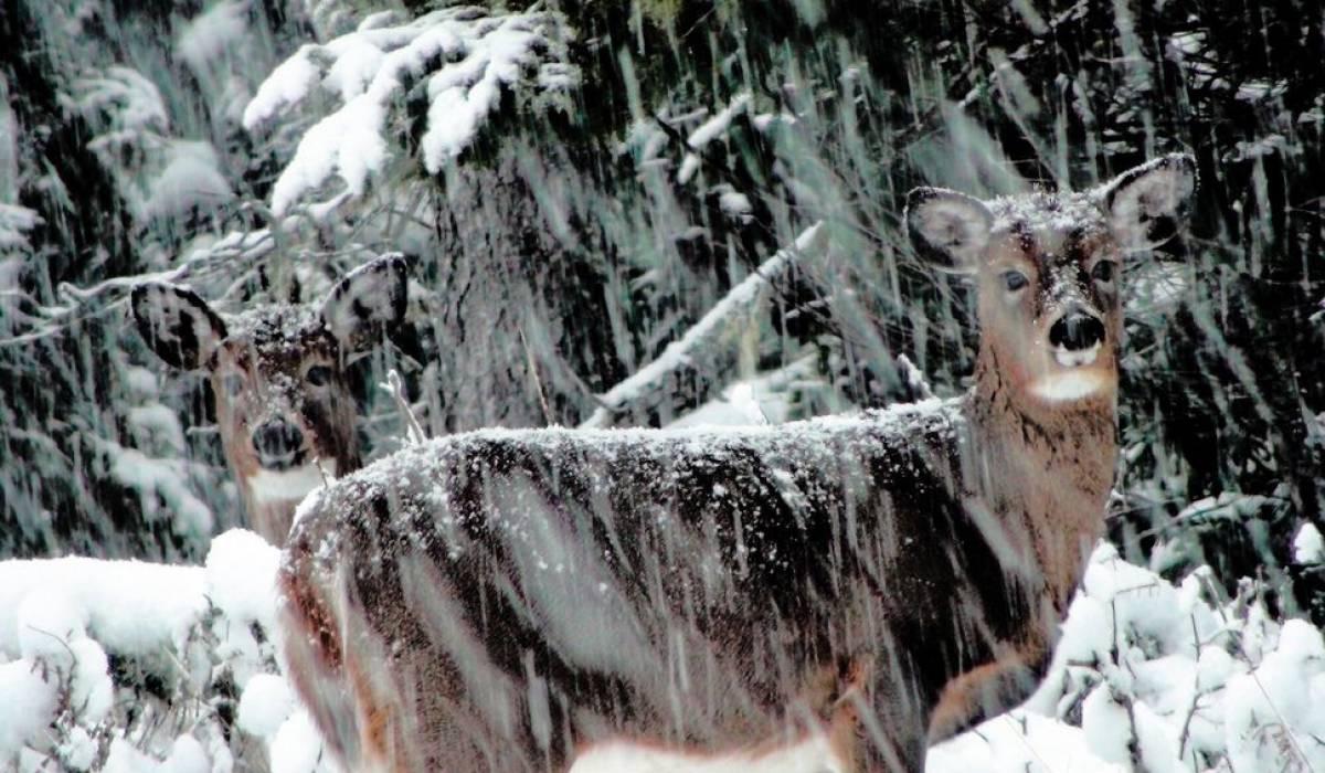 Les chevreuils se font moins visibles dans les forêts du Québec