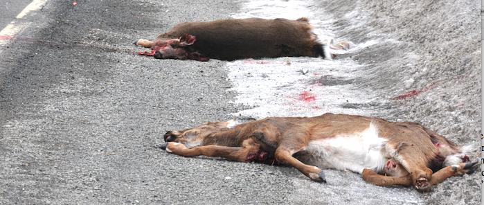 La Trinité interdit de nourrir les cerfs et les protège depuis 10 ans