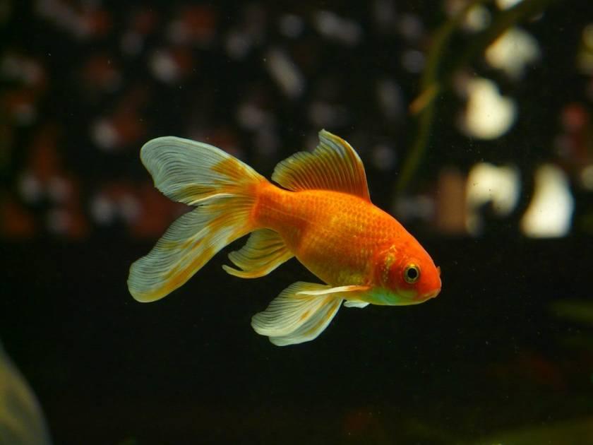 Relâcher un poisson rouge en nature n'est pas un geste anodin