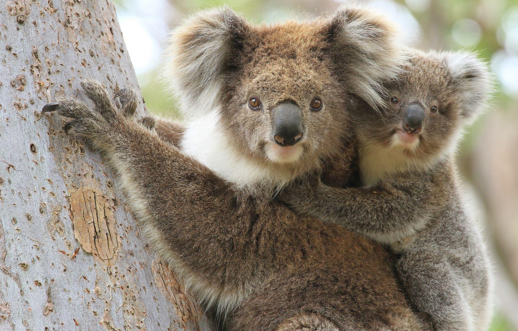 Des Canadiens vont à la rescousse des animaux en Australie