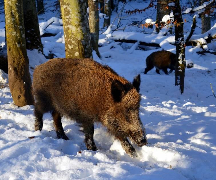Les citoyens invités à signaler la présence de sangliers sauvages