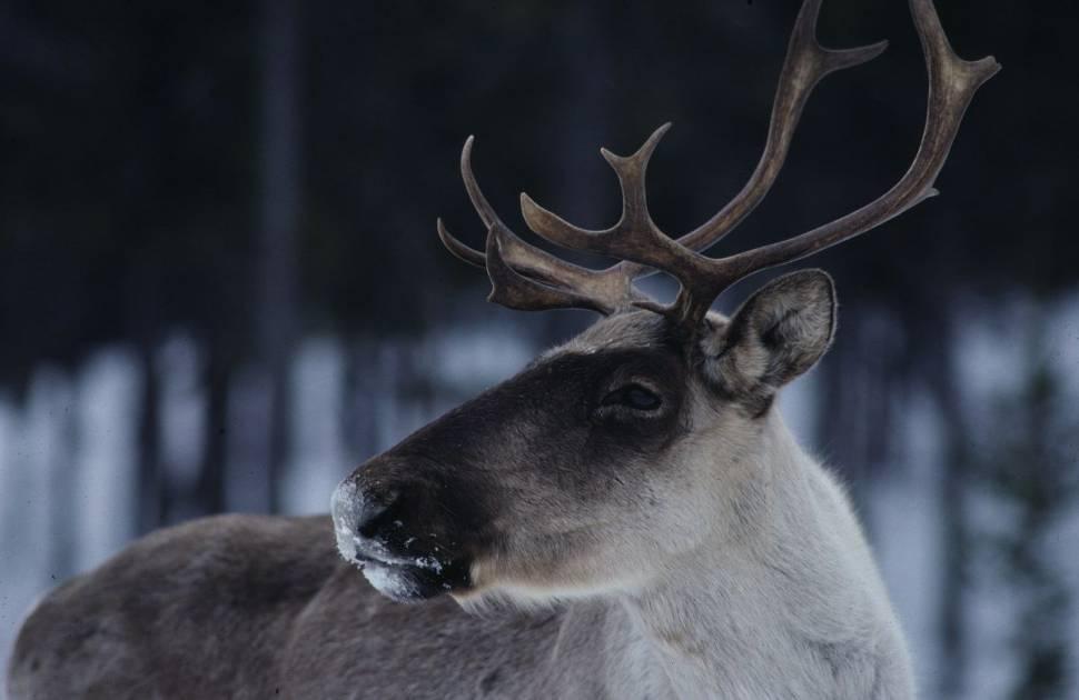 Ne pas déranger les caribous de la Gaspésie