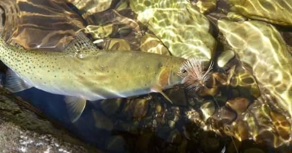 La disparition d'une espèce de poisson déconcerte Teck