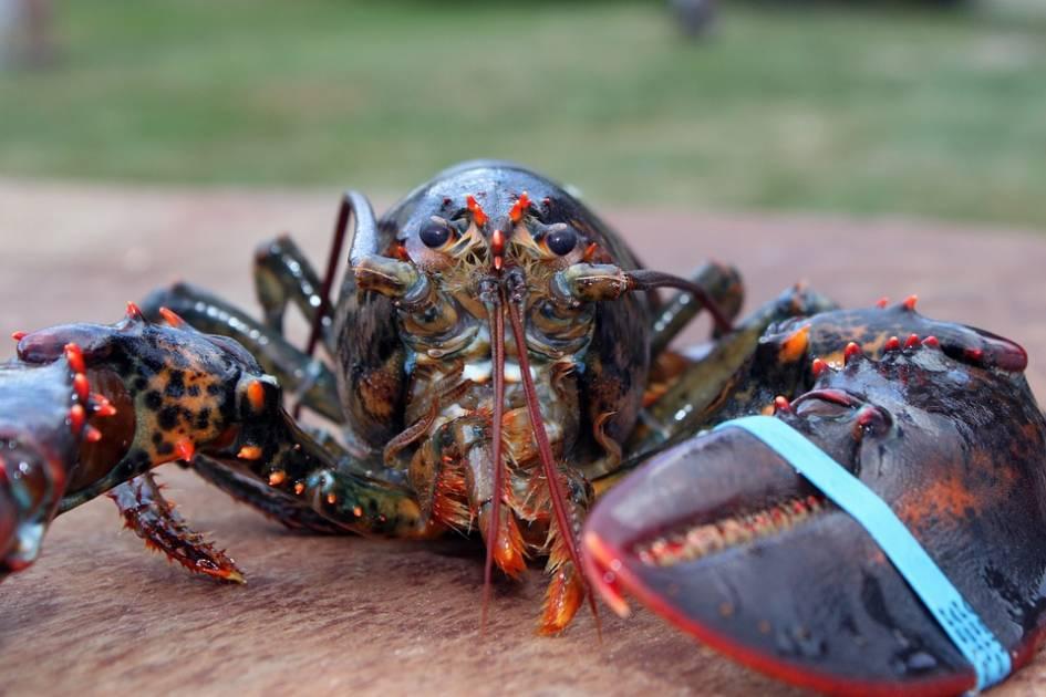 La saison du homard s'ouvre alors que les usines manquent de personnel