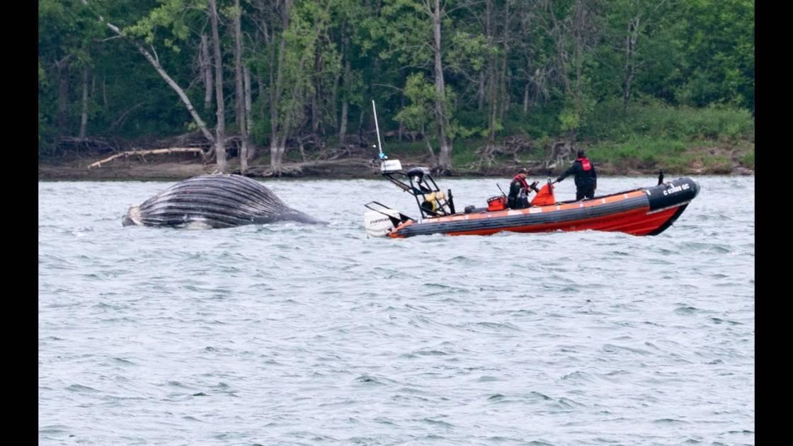 La baleine de Montréal est retrouvée morte