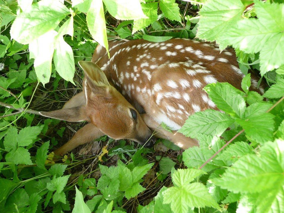 Les faons nouveau-nés: observez-les à distance