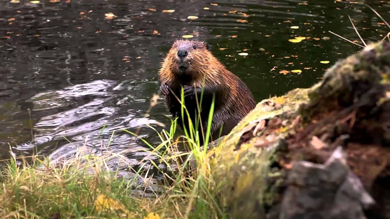 Les castors profiteraient du réchauffement climatique pour migrer vers le nord