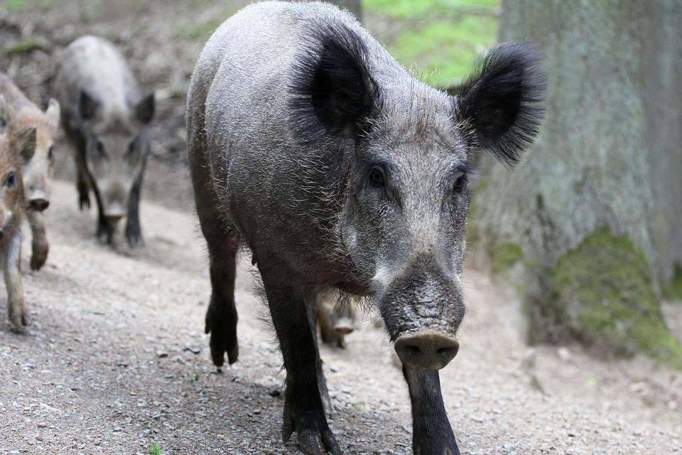 Des sangliers risquent de contaminer la faune québécoise