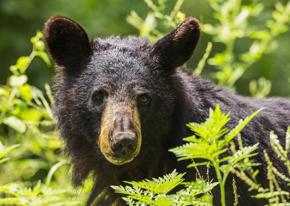 Que faire si vous croisez la route d'un ours noir ?