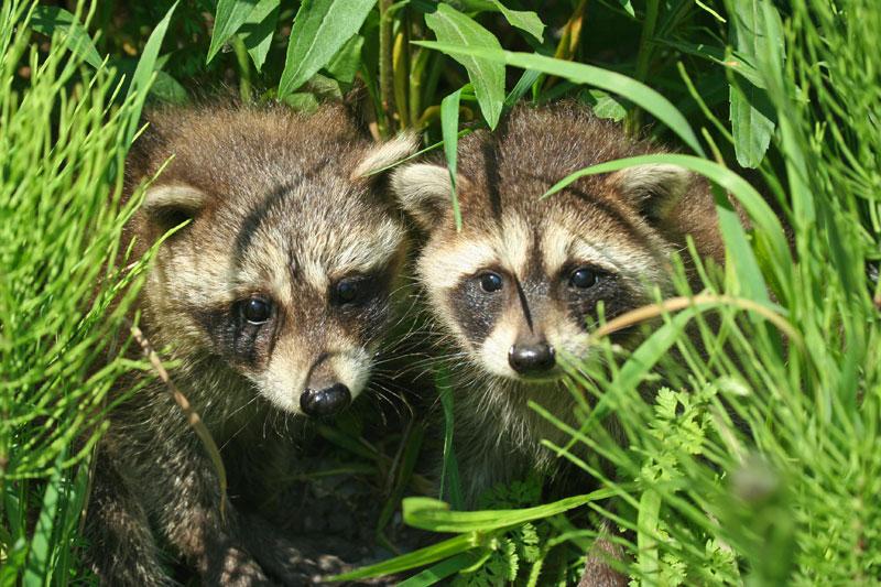 Les risques associés à l'adoption d'animaux sauvages sont bien réels