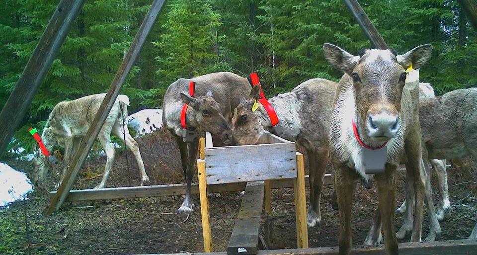 Un des caribous de Val-d'Or est retrouvé mort