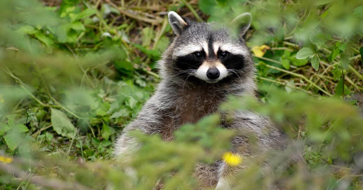 La vaccination de la faune sauvage contre la rage se poursuit au N. B.
