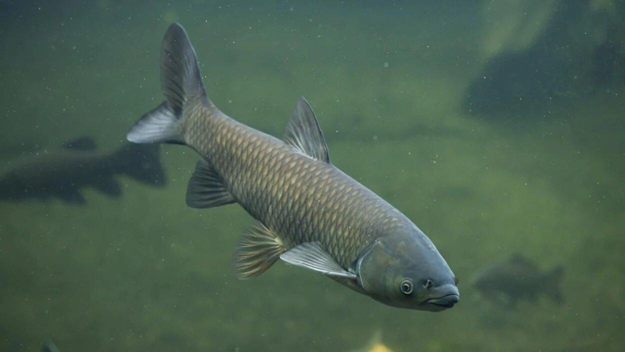 Capture d'une carpe de roseau dans le bassin de Chambly
