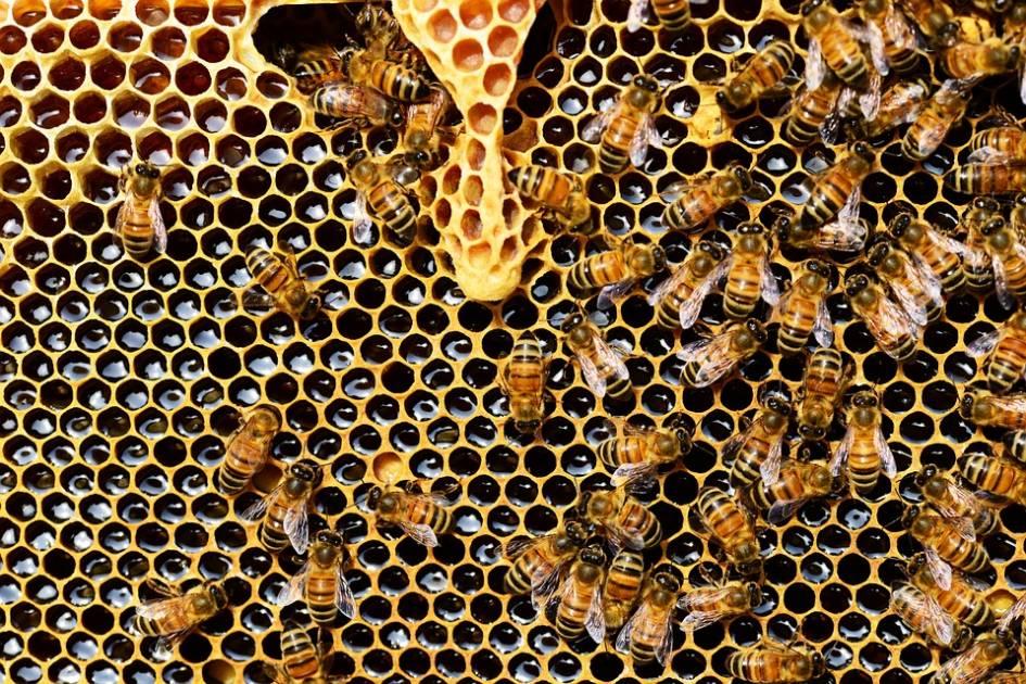 Le manque d'abeilles pollinisatrices limite les récoltes, conclut une étude