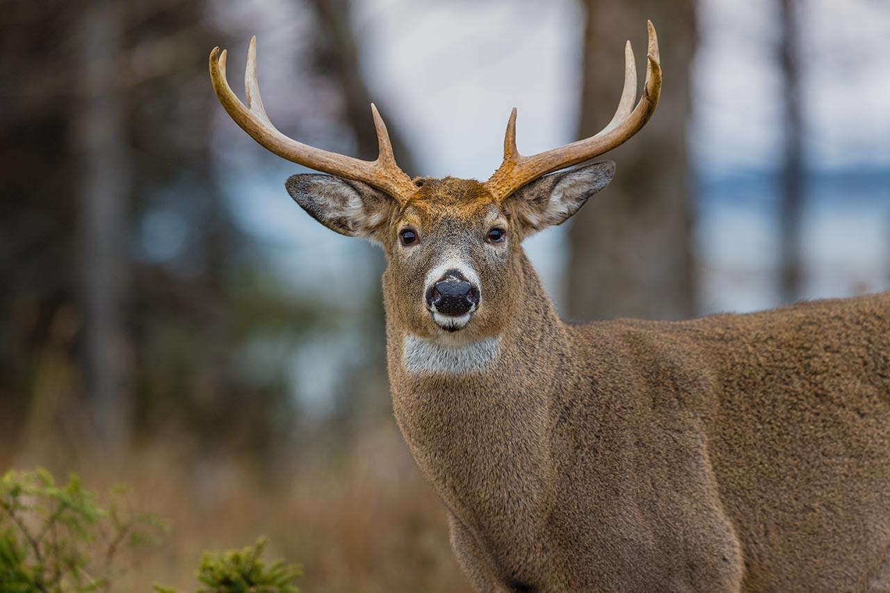 De nouveaux séjours de chasse du cerf d'Anticosti se libèrent