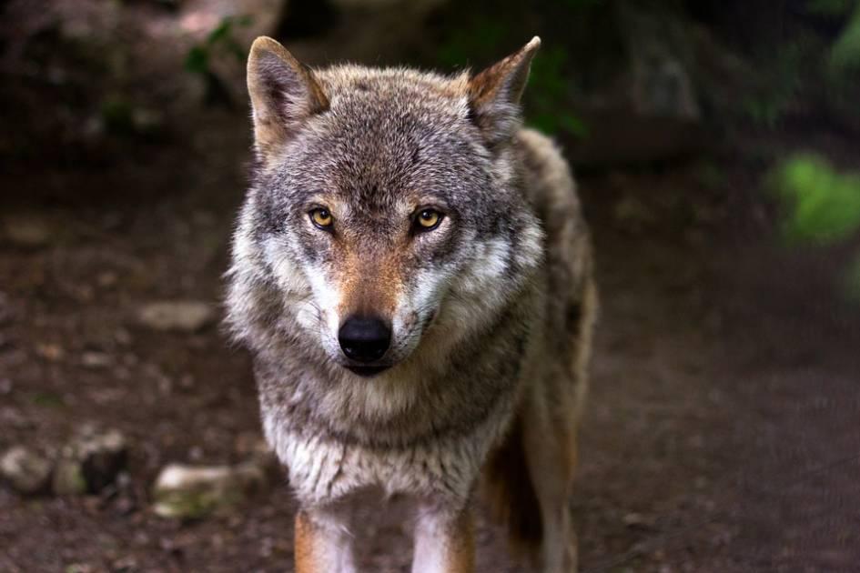 Vivre en sécurité avec le loup