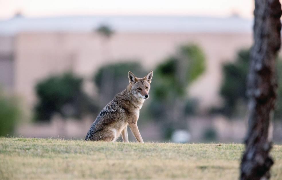 La cohabitation entre le coyote et l'humain s'améliore à Montréal
