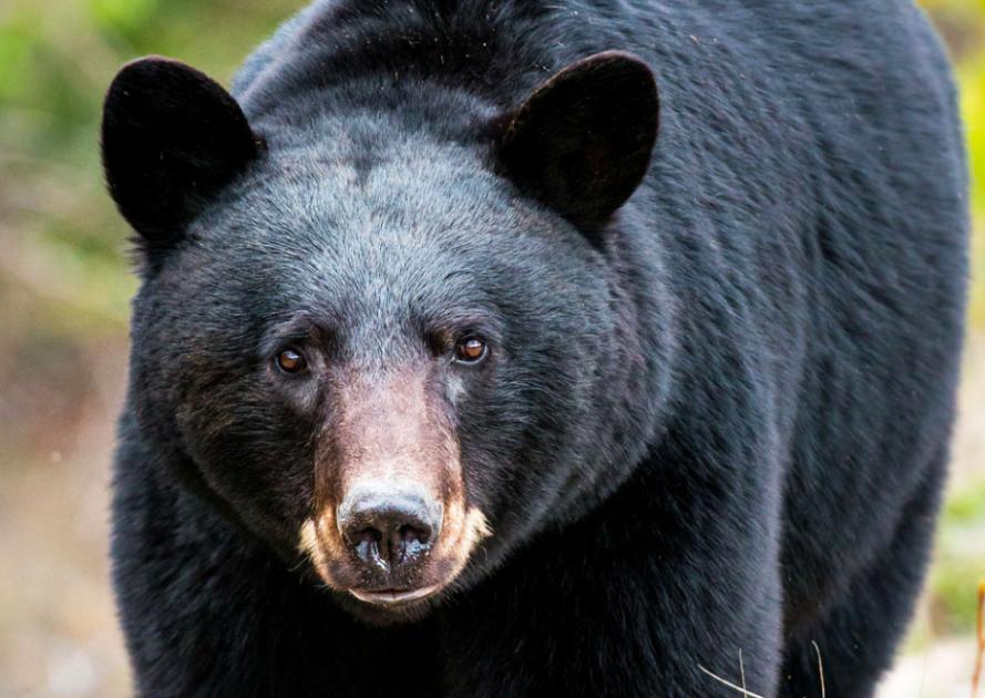 Plus important que jamais de ne pas nourrir les ours