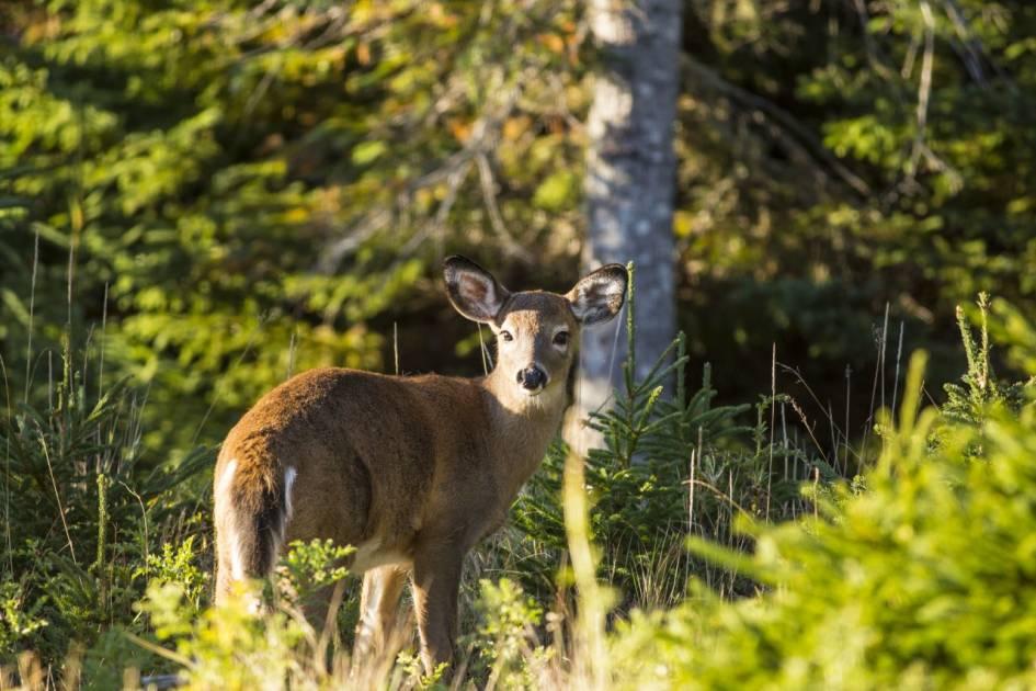 Anticosti connaît sa plus forte densité de cerfs depuis 5 ans!