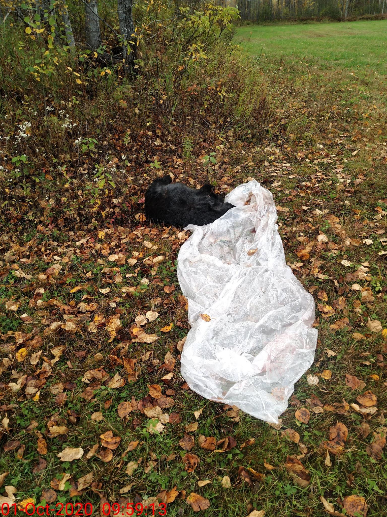 Appel à la population: mort suspecte d'un ours en Abitibi-Témiscamingue