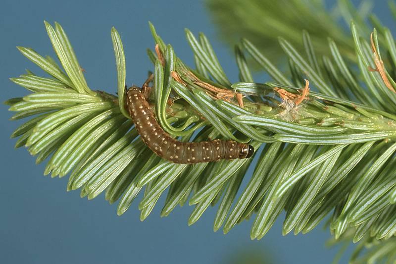 La tordeuse d'épinette aperçue en Haute-Mauricie et Mékinac