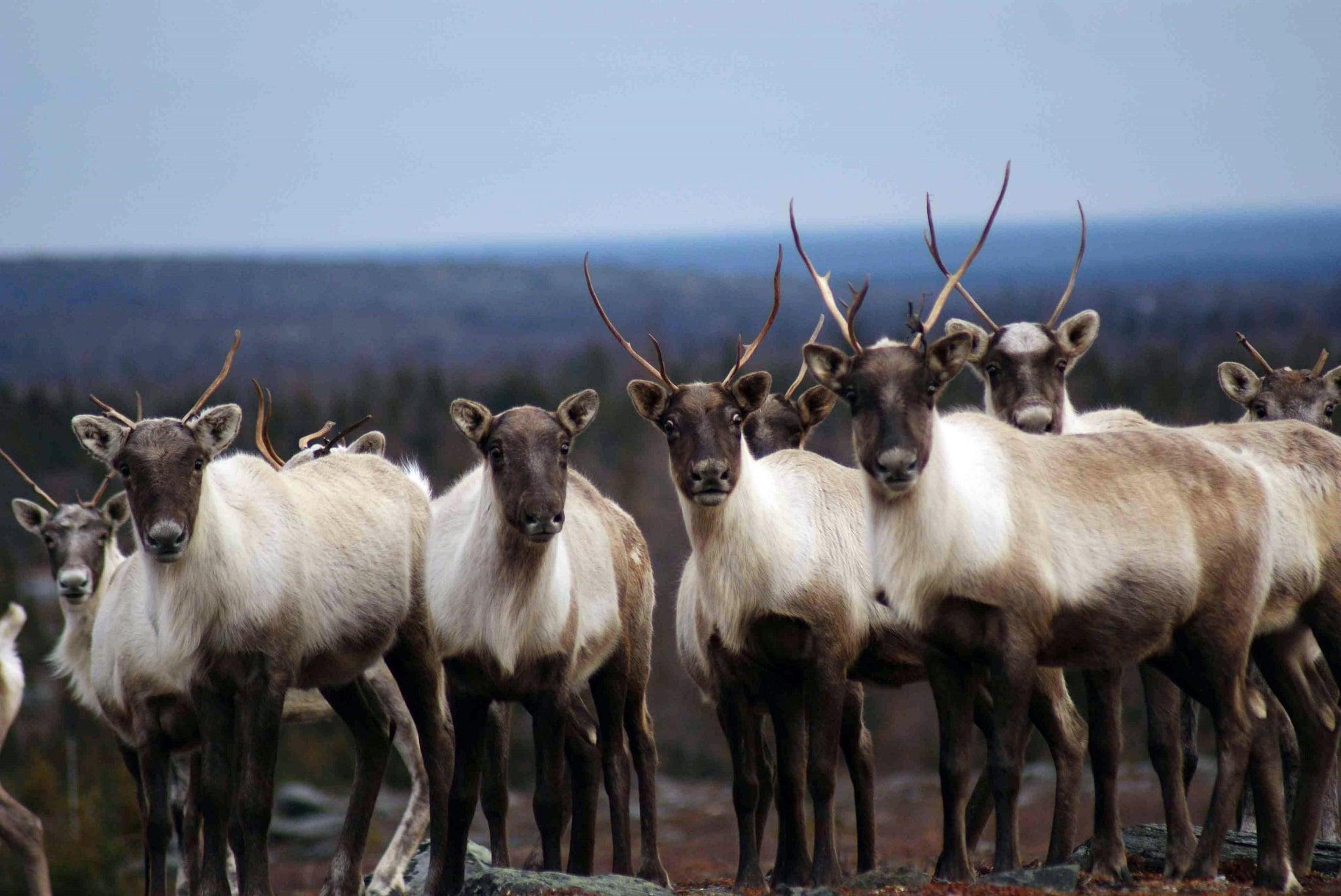 Inventaire du troupeau de caribous migrateurs de la rivière George