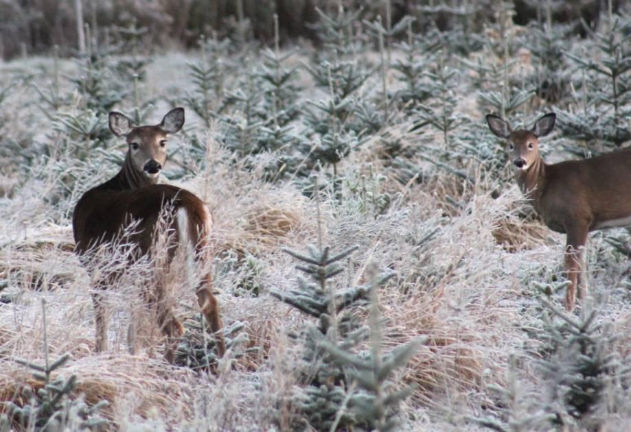 Bientôt une « nouvelle saison » de chasse du cerf pour la relève