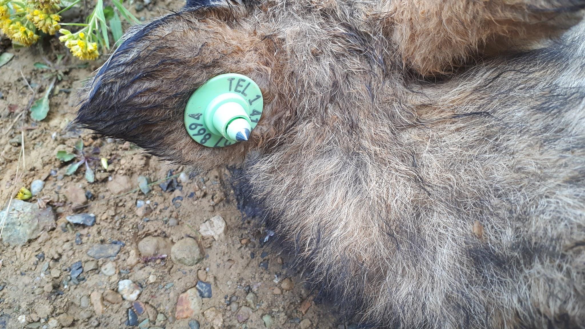 Des coyotes porteurs de colliers télémétrique pour une étude