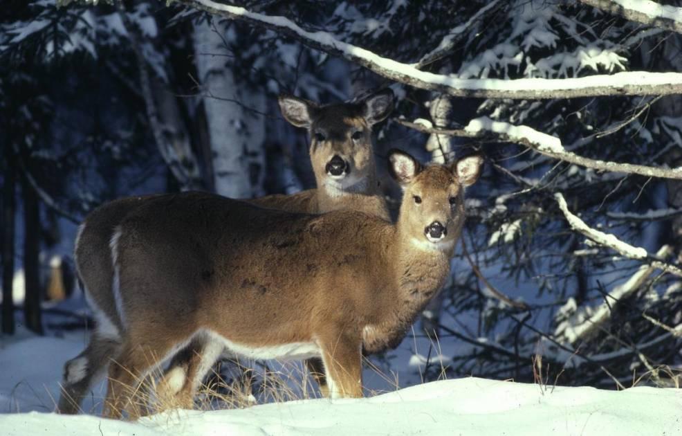 Appel à la population: des cerfs victimes de braconnage en Gaspésie