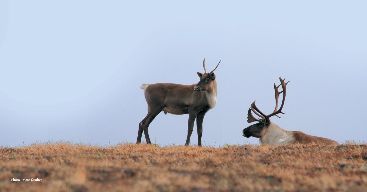 Encore plus important de ne pas déranger les caribous de la Gaspésie