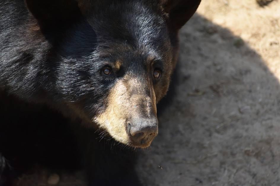 Entrevue marquante de 2020: un nouveau plan de gestion de l'ours noir